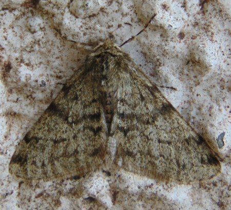 Pale Brindled Beauty 3