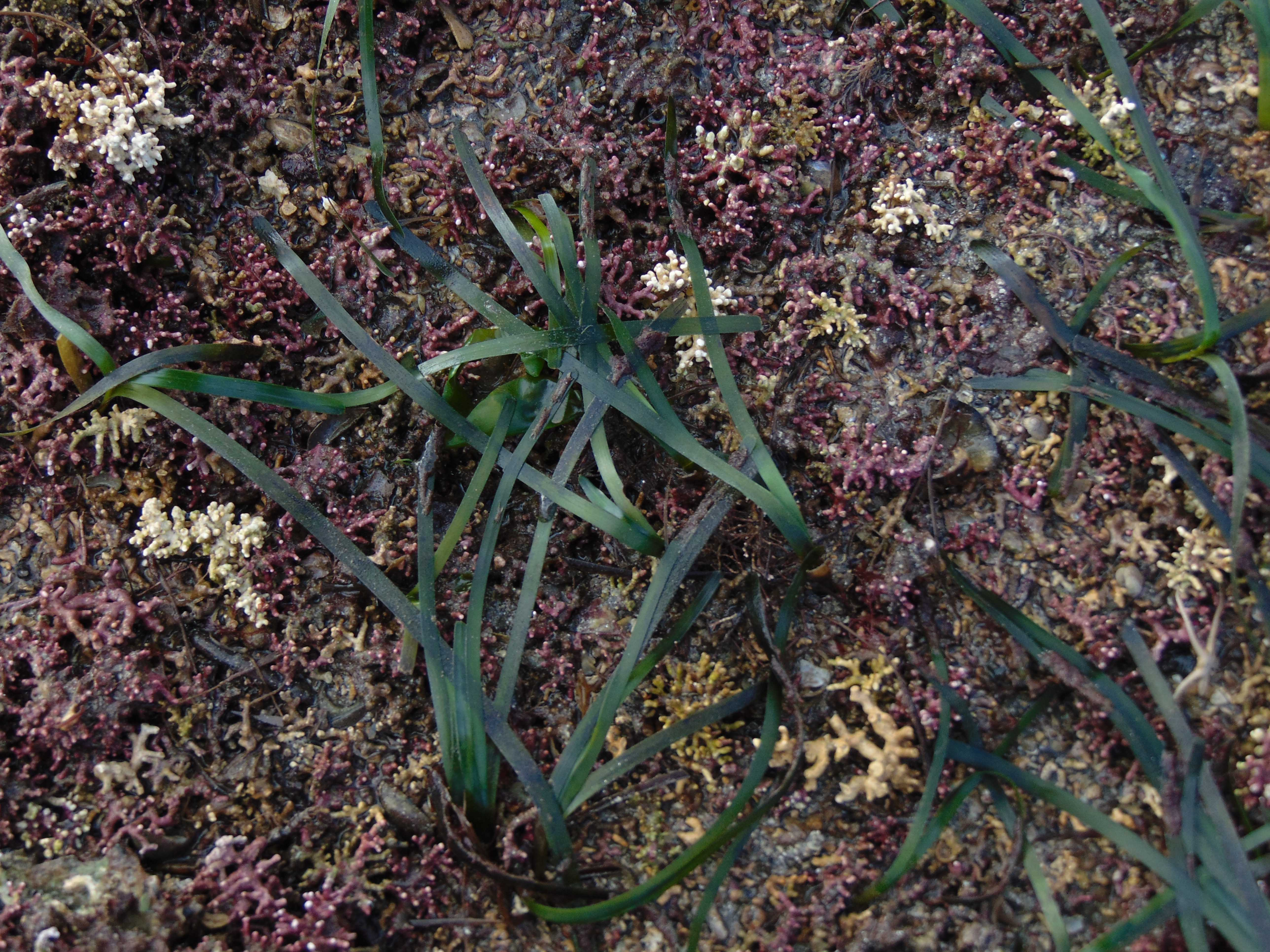 Zostera growing in maerl bed