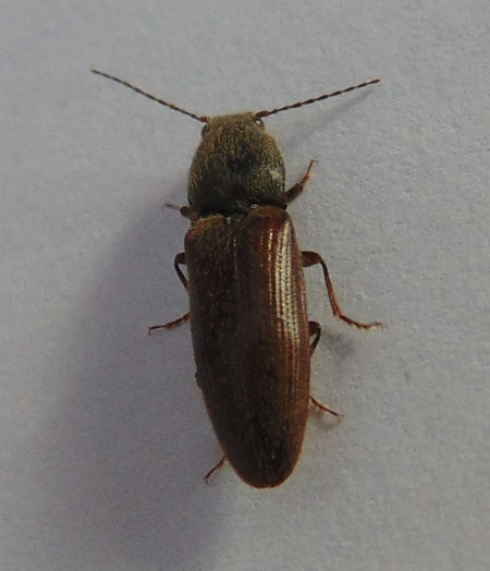 beetle 160524 (3)