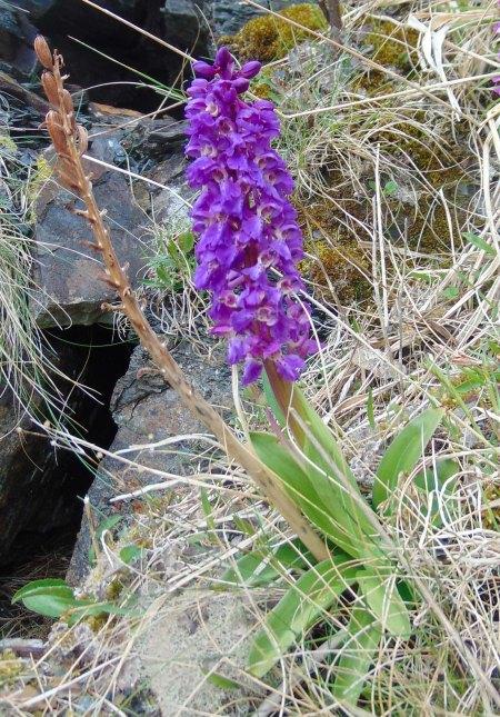 Orchis mascula Inver Tote