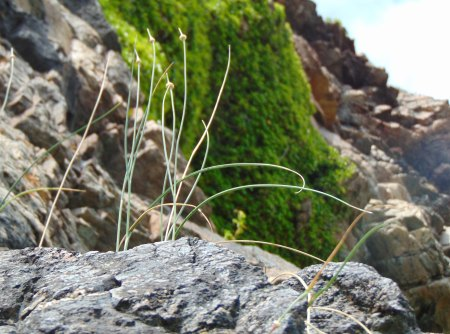 Allium vineale Raasay