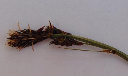 Carex bigelowii 01