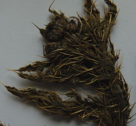 Cirsium x celakovskianum