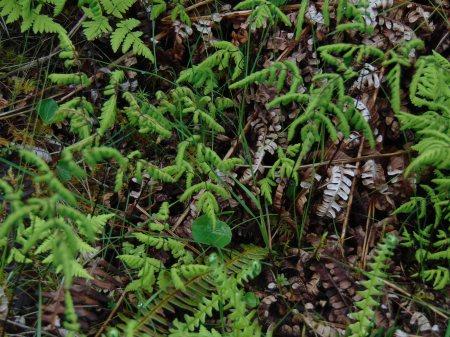 Gymnocarpium dryopteris 20160622