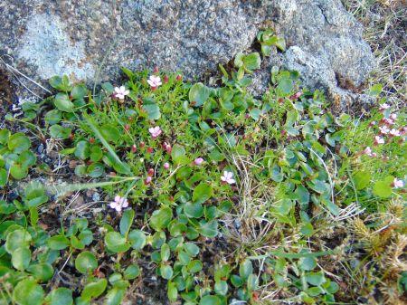 Salix herbacea and Silene acaulis