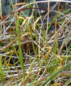 Carex pauciflora LR