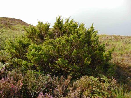 Juniperus comm comm