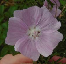 Malva moschata flower