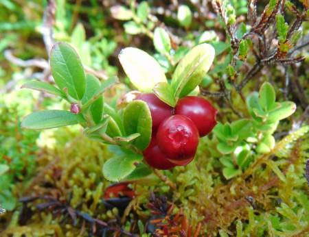 Vaccinium vitis-idaeus fruit