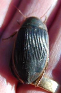 dytiscus-semisulcatus-1