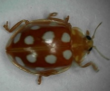 orange-ladybird-0001