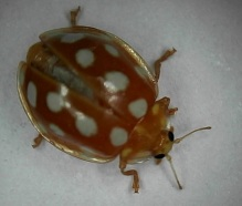 orange-ladybird-0008