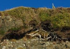 Ancient Juniper (and Ivy)
