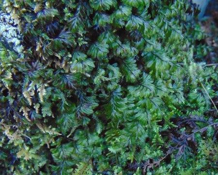 hymeophyllum-wilsonii-lr