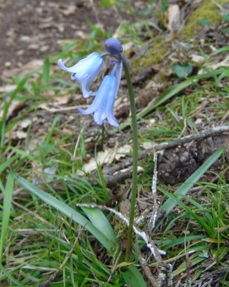 bluebell-tomar