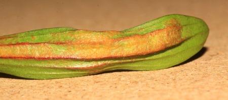 Plantago lanceolata gall (Steve Terry) 2