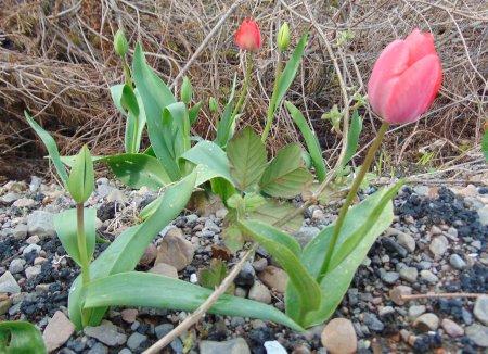 Tulipa gesneriana Lusa LR