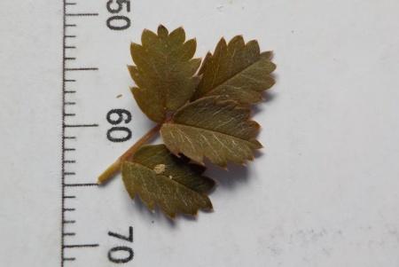 Acaena anserinifolia 3