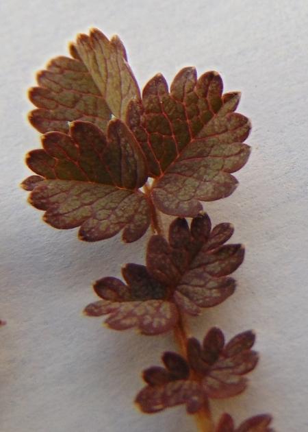 Acaena inermis lf