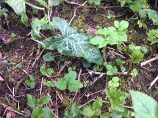 Arum italicum 1