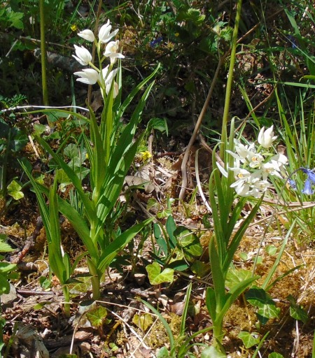 Cephalanthera longifolia Stonefield 2017 LR