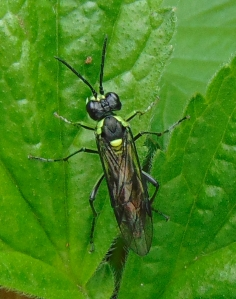 Sawfly of the Tenthredo arcuata group
