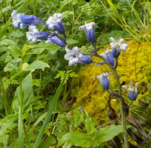 Hyacinthoides hybrid Photo: S Gibson