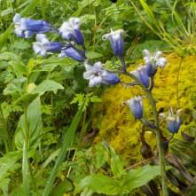 Hyacinthoides hybrid Photo: S Gibson