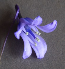 Hyacinthoides hybrid Photo: S Terry