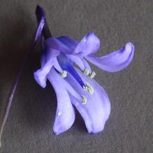 Hyacinthoides hybrid Photo: S Terry