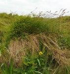 Carex paniculata Muck
