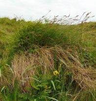 Carex paniculata