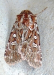 Moth 13 True Lover_sKnot