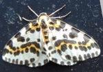 Moth 14 Magpie