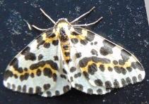 Magpie Moth