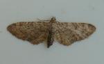 Moth 4 GreyPug