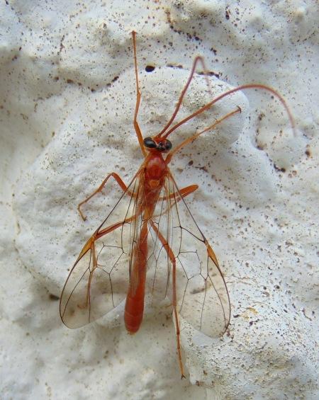 Ophionid parasitic wasp 1 LR