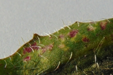 Puccinia hieracii var. hypochaeridis (2)