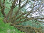 Salix caprea epiphytes