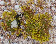 Sedum acre on a shell beach