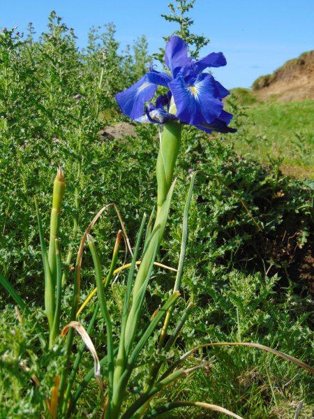 Iris spuria Keistle