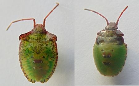 Acanthosoma haemorrhoidale nymphs 3LR