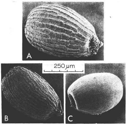 Juncus bufonius agg seeds - A = J foliosus, B = J. bufonius, C = J ranarius