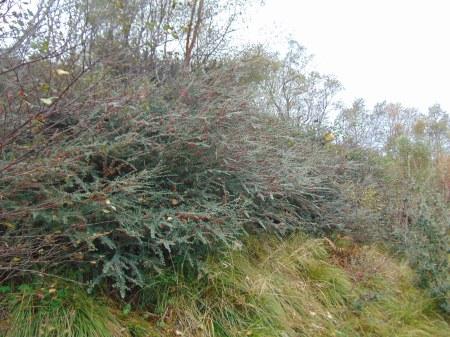 Cotoneaster integrifolius S of Kilmarie