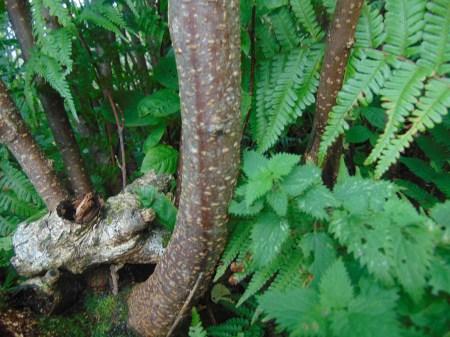 Prunus avium bark