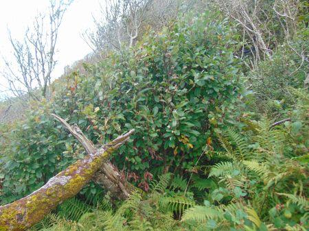 Prunus avium thicket