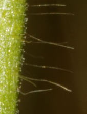 Stem hairs and glands