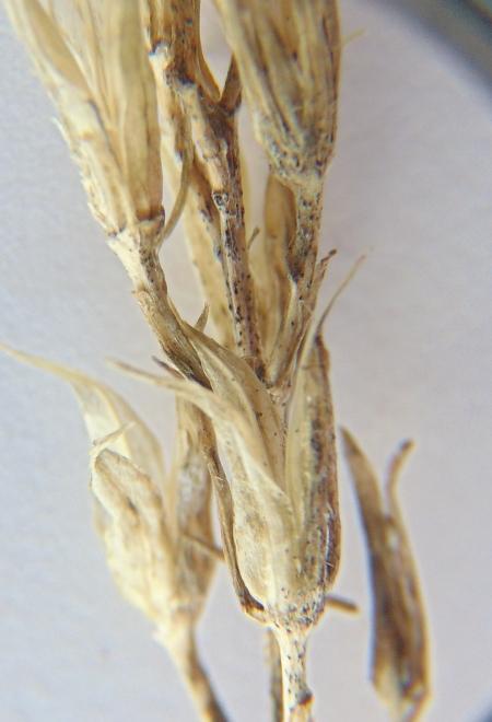narth ossi fungus