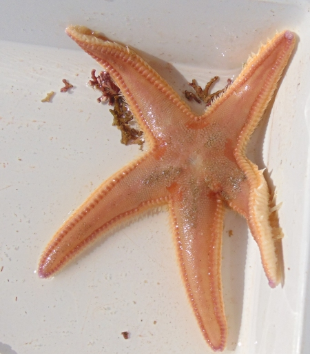 Astropecten irregularis maybe