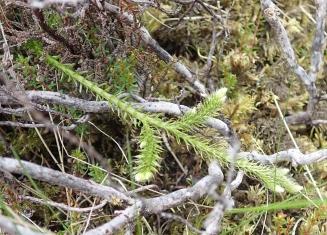 Lycopodium clavatum (Stag's-horn Clubmoss)